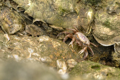 A female fiddler crab hunts for food at Carolina Beach State Park in Carolina Beach, NC on Friday, June 5, 2015. Copyright 2015 Jason Barnette