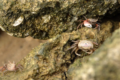 A female fiddler crab (bottom) hunts for food with a male fiddler crab (top) nearby at Carolina Beach State Park in Carolina Beach, NC on Friday, June 5, 2015. Copyright 2015 Jason Barnette