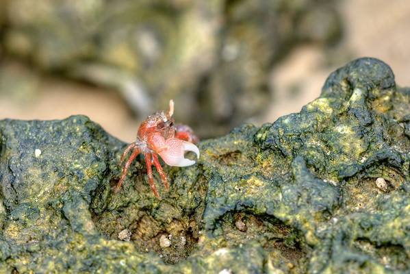 A fiddler crab hunts for food at Carolina Beach State Park in Carolina Beach, NC on Friday, June 5, 2015. Copyright 2015 Jason Barnette