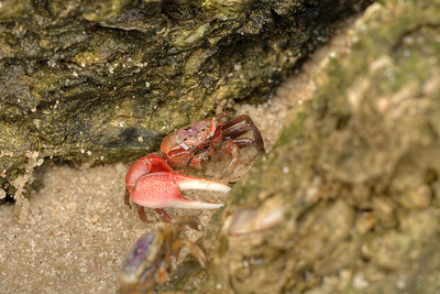 A male fiddler crab with a large, dominate claw at Carolina Beach State Park in Carolina Beach, NC on Friday, June 5, 2015. Copyright 2015 Jason Barnette
