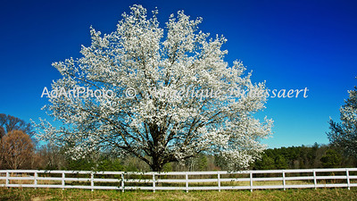 Bradford Pear: Farrington Mill Road