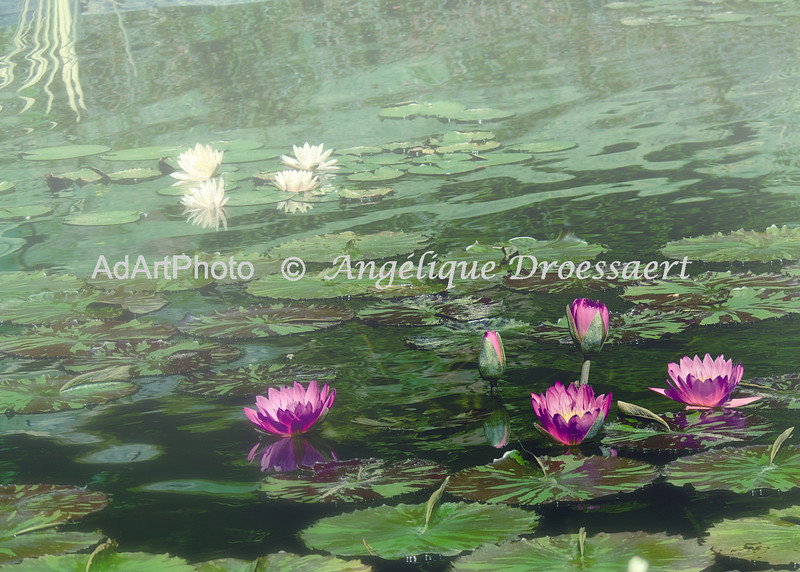 Rising Mists on the Lily Pond