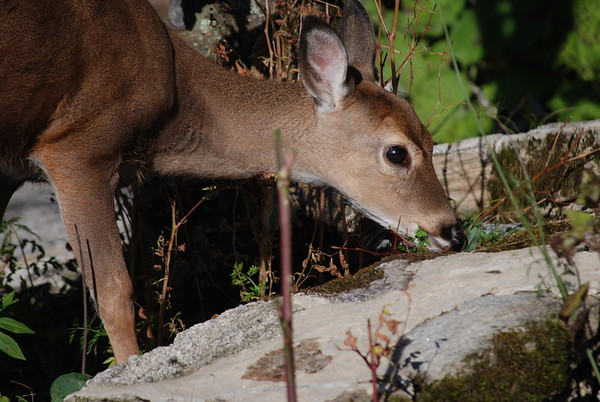 A Deer in Land of Oz, Beech Mountain, North Carolina