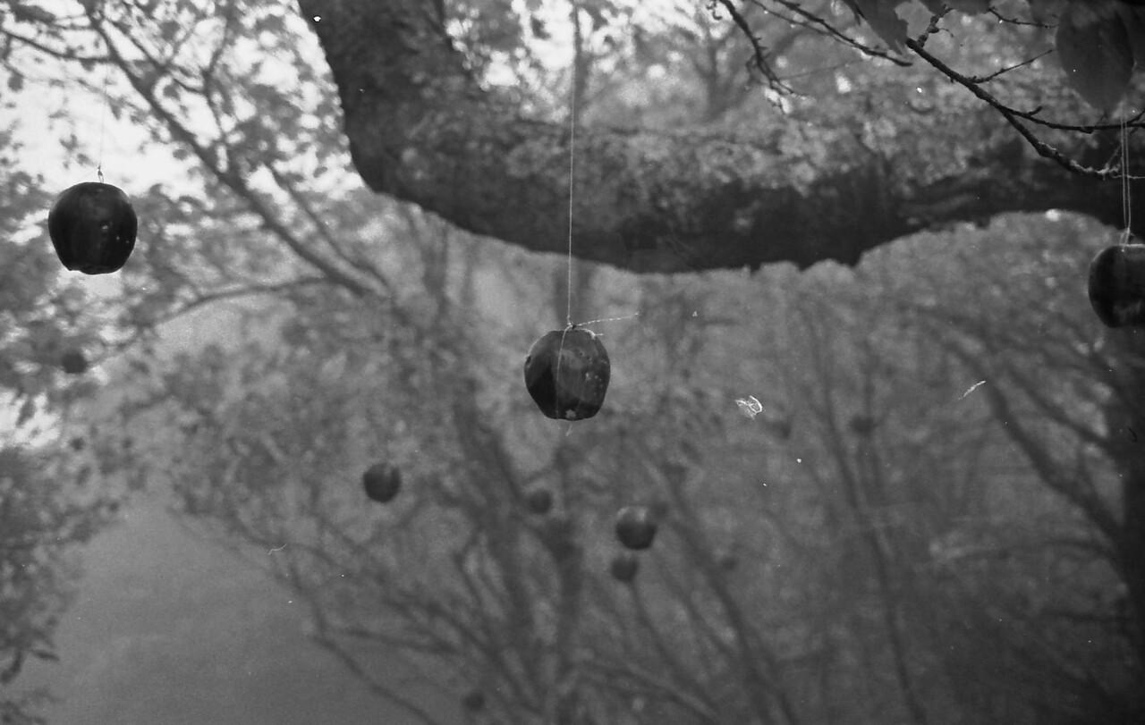 16 Hanging Apples