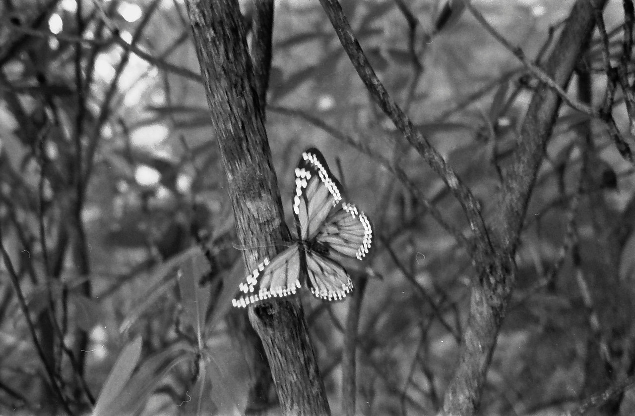 5 Fake Butterfly in the Land of Oz