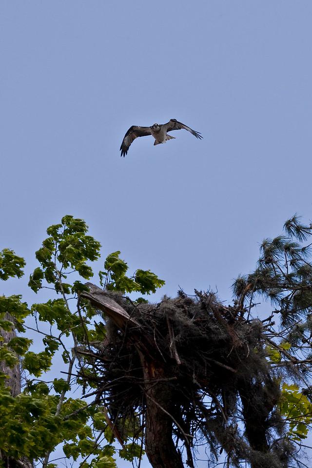 Osprey above its nest