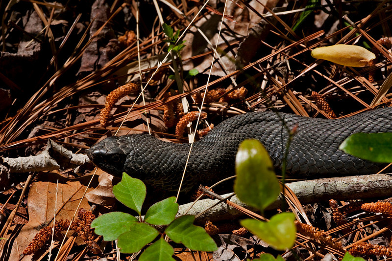 Rat Snake - well fed