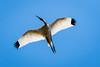 Immature White Ibis