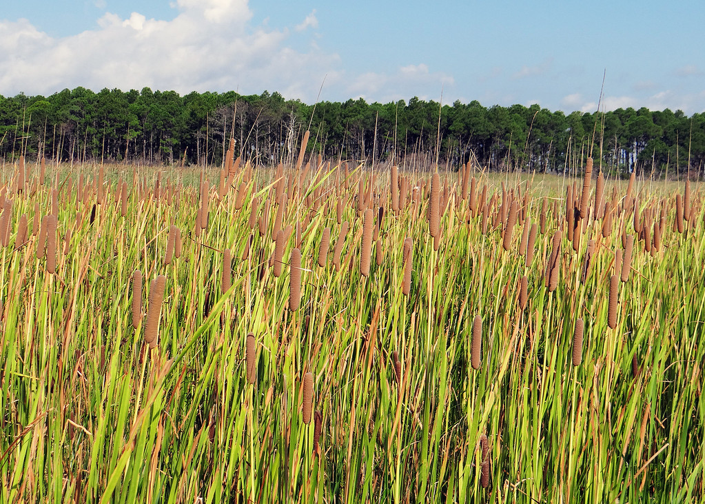 Cattail field