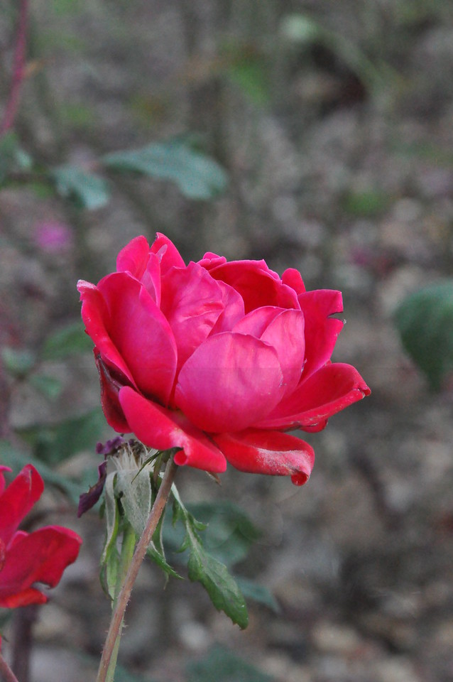 11-3-2012 Raffaldini Vineyard 097