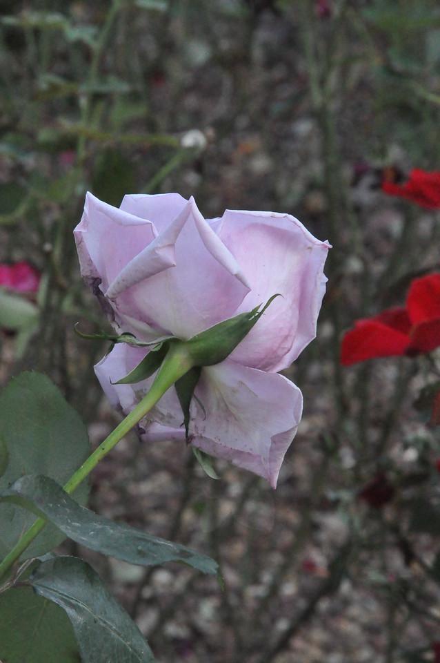 11-3-2012 Raffaldini Vineyard 127