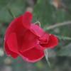 11-3-2012 Raffaldini Vineyard 064