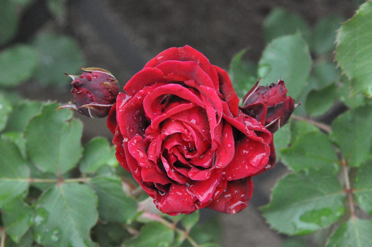 4-22-2012 Raffaldini Vineyards 067