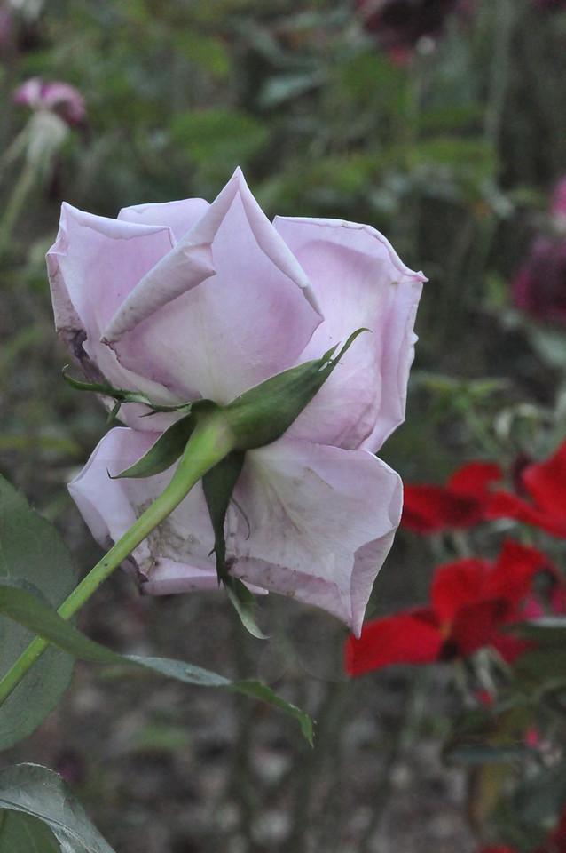 11-3-2012 Raffaldini Vineyard 096