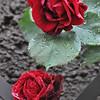 4-22-2012 Raffaldini Vineyards 080