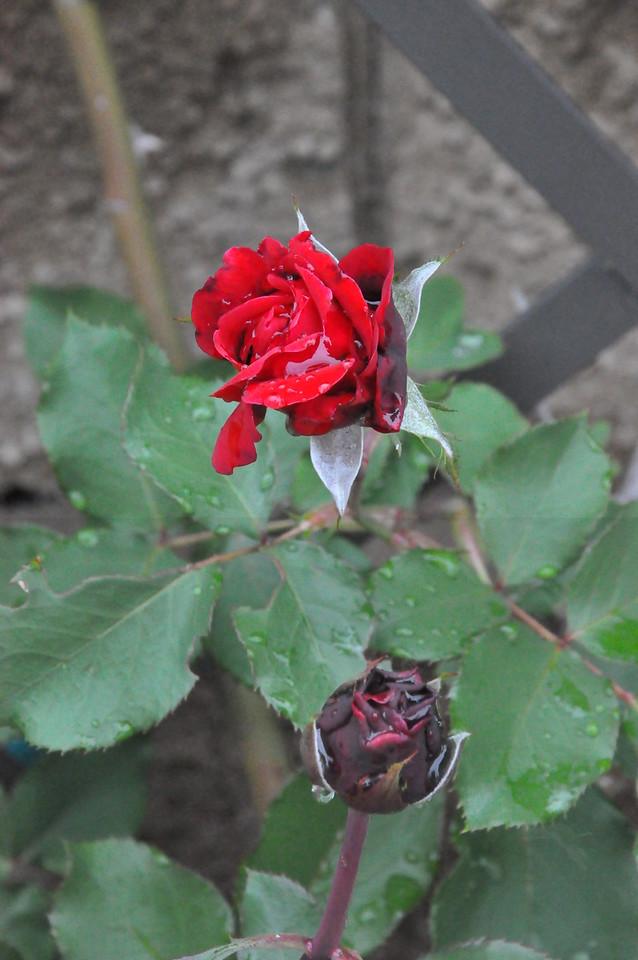 4-22-2012 Raffaldini Vineyards 054