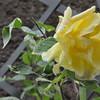 4-22-2012 Raffaldini Vineyards 077