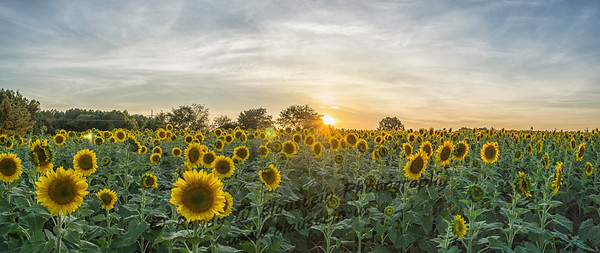 Raleigh_Sunflowers