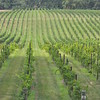 8-13-2011 Raffaldini Vineyard 031