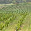 8-13-2011 Raffaldini Vineyard 014
