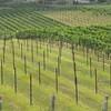 8-13-2011 Raffaldini Vineyard 025