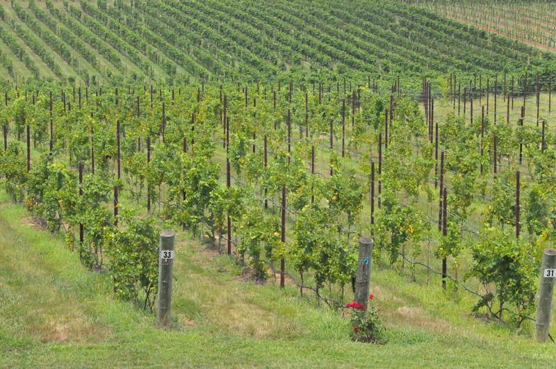 8-13-2011 Raffaldini Vineyard 028