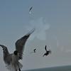 Seagulls 5-13-2010 034
