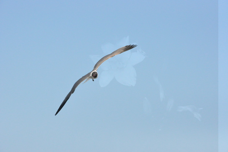 Seagulls 5-13-2010 070