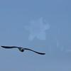 Seagulls 5-13-2010 051