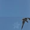 Seagulls 5-13-2010 025