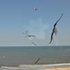 Seagulls 5-13-2010 041