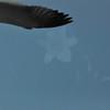 Seagulls 5-13-2010 048