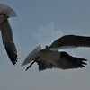 Seagulls 5-13-2010 036