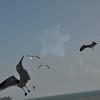 Seagulls 5-13-2010 033