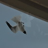 Seagulls 5-13-2010 031