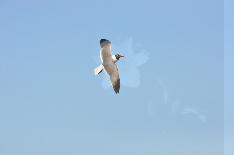 Seagulls 5-13-2010 068