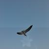 Seagulls 5-13-2010 043