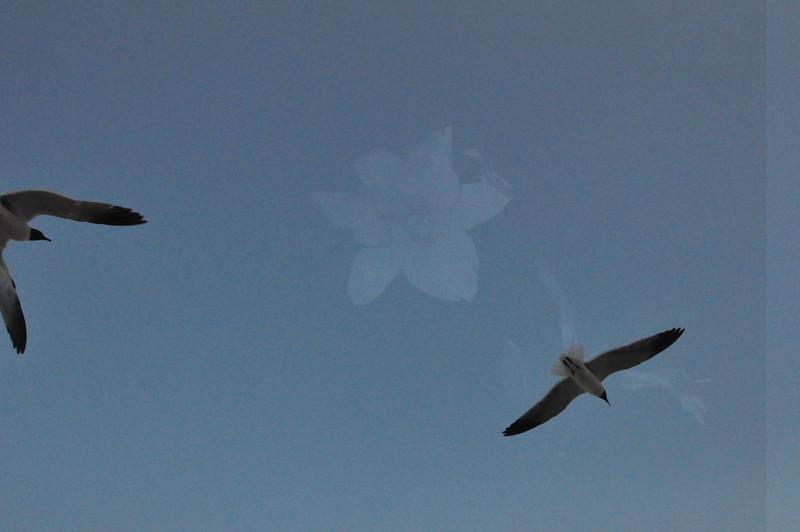 Seagulls 5-13-2010 046