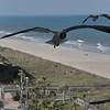 Seagulls 5-13-2010 019