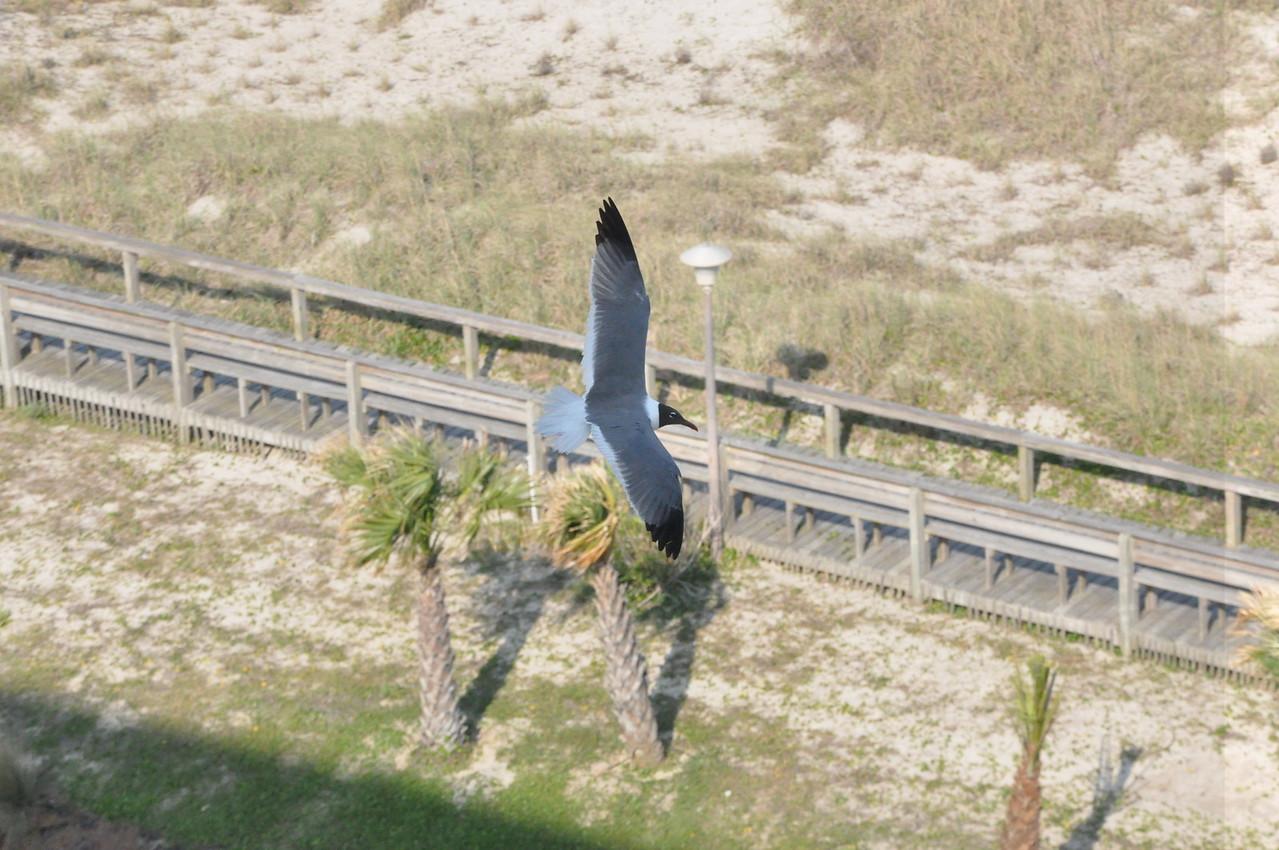 Seagulls 5-13-2010 050