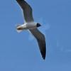 Seagulls 5-13-2010 053