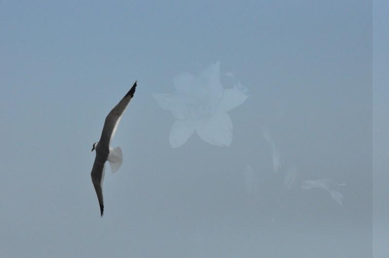 Seagulls 5-13-2010 027