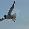Seagulls 5-13-2010 032