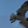 Seagulls 5-13-2010 022