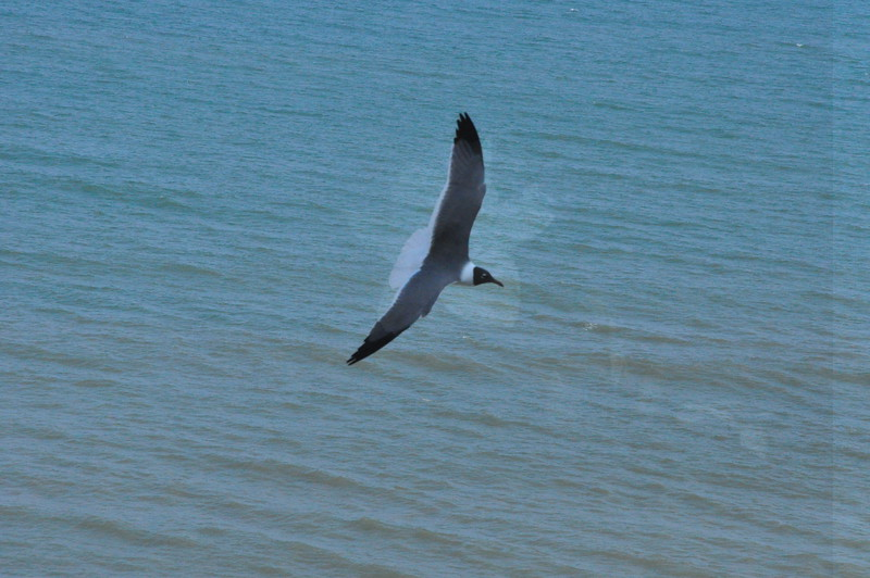 Seagulls 5-13-2010 078