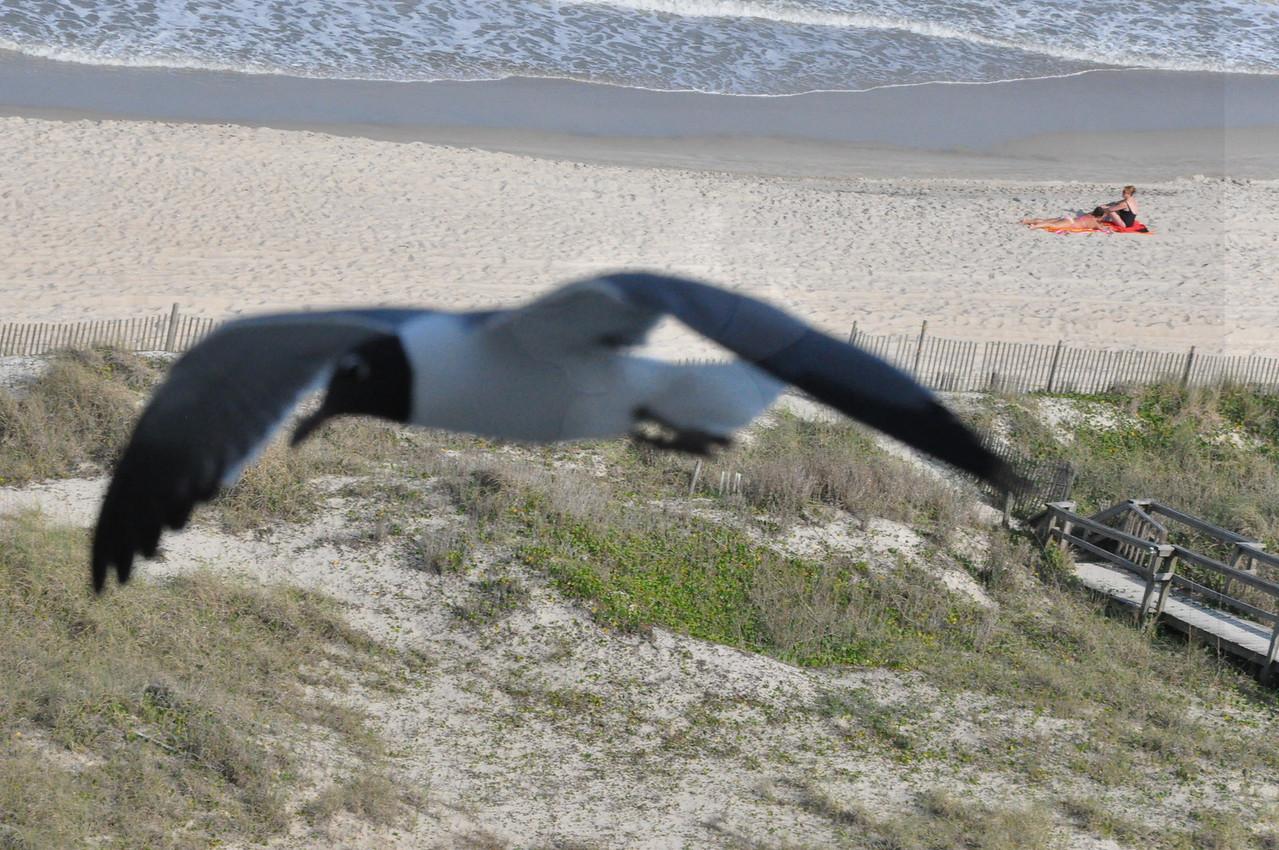 Seagulls 5-13-2010 080