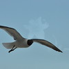 Seagulls 5-13-2010 049