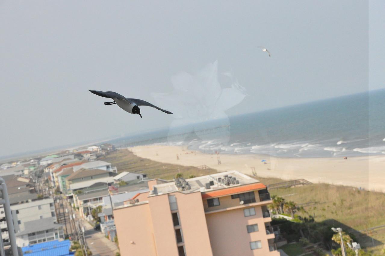 Seagulls 5-13-2010 066