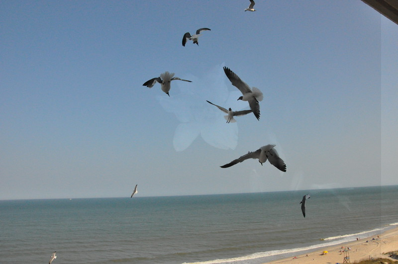 Seagulls 5-13-2010 038
