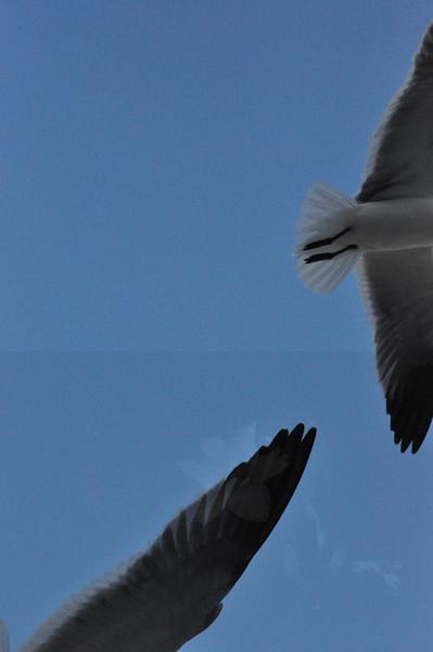 Seagulls 5-13-2010 023